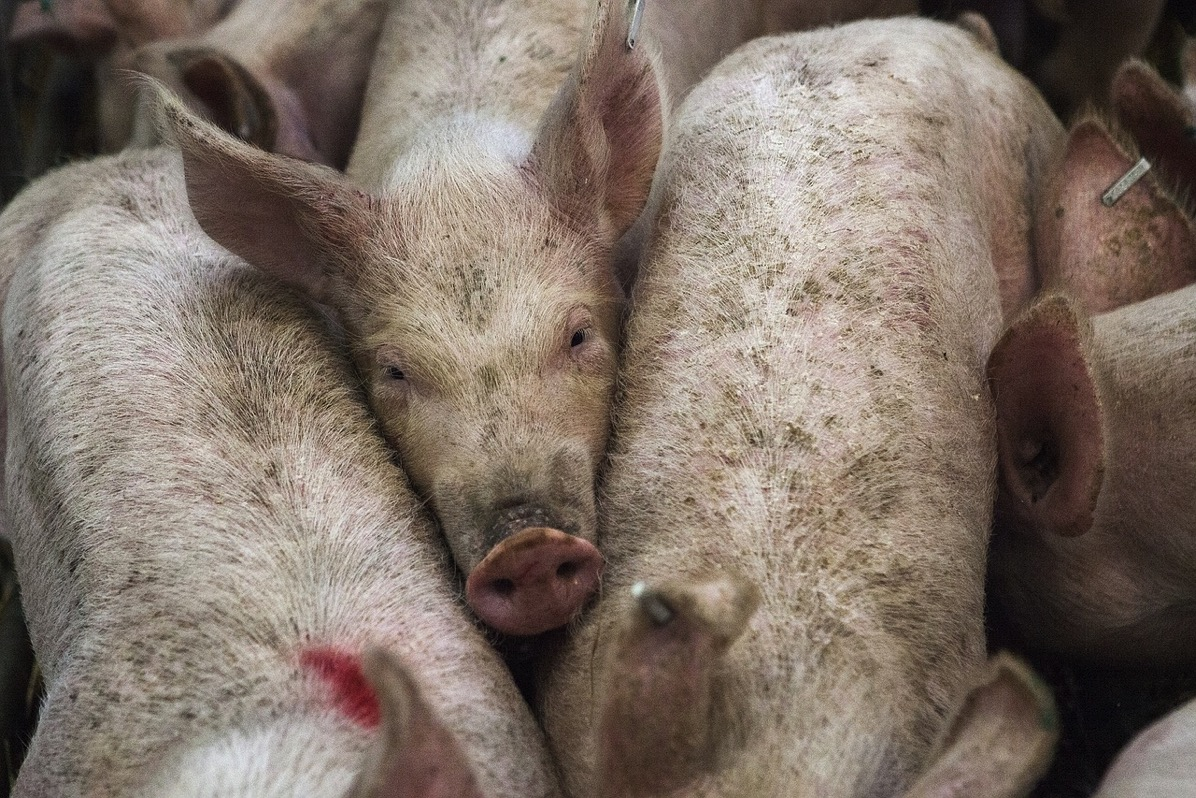 Pigs 678199 1280